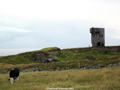 An Irish Cow