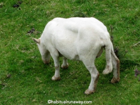 Long Tail Sheep