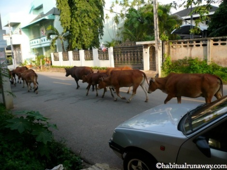 Thai Cattle